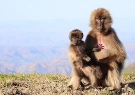Gelada monkey, gelada monkey photos, Ethiopian monkey, monkeys in Ethiopia, baby gelada monkey, Simien Mountains