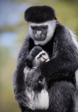Monkey, Colobus Monkey,Ethiopia, Colobus Monkey's Images of Colobus Monkey's, Colobus Monkey Photos