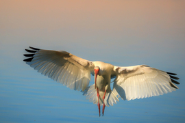 Ibis, White Ibis, Florida, Birding, White Ibis Photos, Images of White Ibis