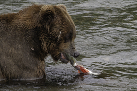 Grid alaska brown bear and salmon 0627b