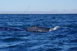 Whales, Gray Whale, Gray Whales, Mexico, Images of Gray Whales, Gray Whale Photos