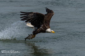 Eagle, Eagles, Bald Eagle, American Bald Eagle, Maryland, Birding, Images of Bald Eagles, Bald Eagle Photos