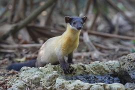 Golden-throated Marten, Golden-throated Marten photos, Vietnam wildlife, wildlife in Vietnam, Golden-throated Marten in Vietnam, Cat Tien, wildlife in Cat Tien