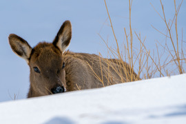 elk, rocky mountain elk, elk photos, elk in Yellowstone, Yellowstone wildlife, winter yellowstone