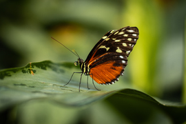 butterflies in Canada, butterfly photos, butterfly gardens