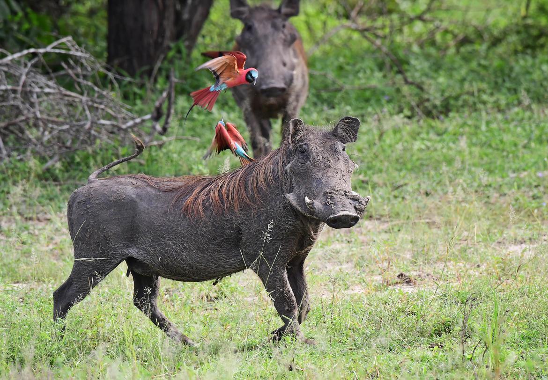 warthog, warthog photos, warthogs in Tanzania, bee eaters, carmine bee-eaters, bee eaters in Tanzania