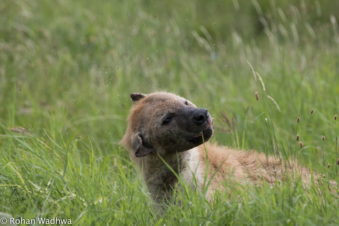 Hyena, Hyenas, Spotted Hyena, Tanzania, Photos of Hyenas, Spotted Hyena Images
