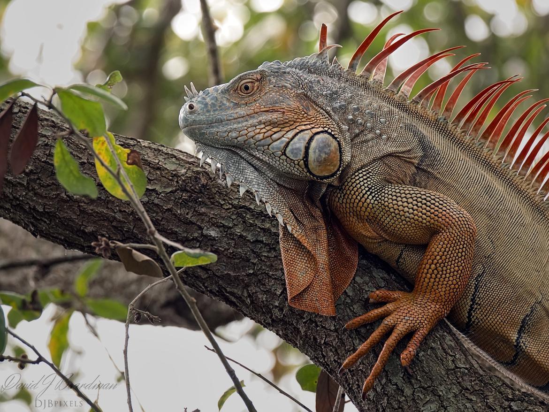 Iguanas, Iguana, Green Iguana, Green Iguanas, Florida, Images of Iguanas, Iguana Photos
