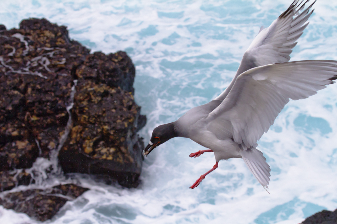 swallow-tailed gull, seagull, Galapagos Islands, Galapagos wildlife, Galapagos birds, seagull images, gull, photos,