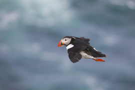 puffin, puffin photos, Atlantic puffin, Atlantic puffin photos, Iceland wildlife, birding in Iceland, puffins in Iceland