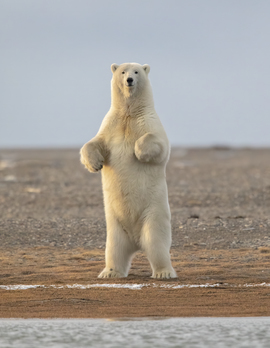 Polar Bear, Polar Bears, Kaktovik, Alaska, Bears, Images of Polar Bears, Polar Bear Images