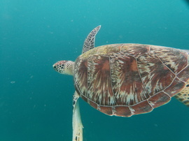 Turtles, Turtle, Green Sea Turtle, Green Sea Turtles, Indonesia, Images of Green Sea Turtles, Sea Turtle Photos