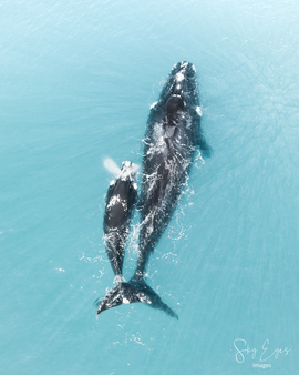 Right Whales, Whales, Whale, Right Whale, Australia, Images of Right Whales, Right Whale Photos
