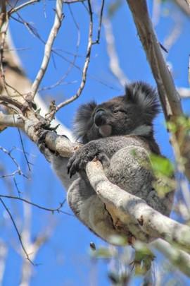 Grid koala.