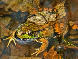 Frog, Frogs, Northern Green Frog, Green Frog, Images of Northern Green Frogs, Green Frog Photos, New York