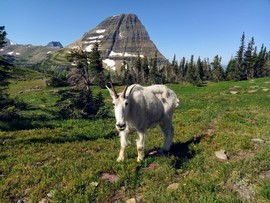 Goats, Goat, Mountain Goat, Mountain Goats, Glacier National Park, Montana, Images of Mountain Goats, Mountain Goat Photos