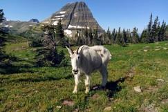 Goats, Goat, Mountain Goat, Mountain Goats, Glacier National Park, Montana, Images of Mountain Goats, Mountain Goat Photos