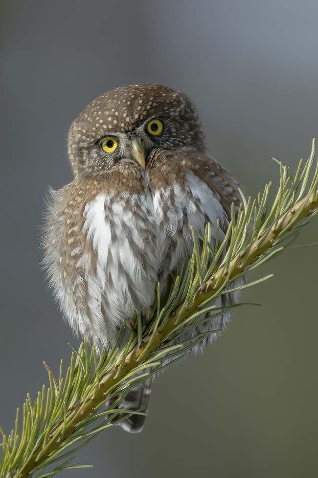 Owl. Owls. Northern Pygmy Owl, British Colombia, Owl Photos, Images of Pygmy Owls, Canada