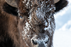 Bison, Yellowstone, Yellowstone National Park, Images of Bison, Bison Photos