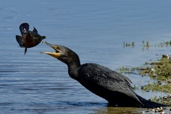 Cormorant, Cormorants, Florida, Images of Cormorants, Cormorant Fishing, Cormorant Photos