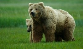 brown bear, grizzly bear, brown bear photos, grizzly bear images, Katmai National Park, Katmai National Park wildlife, united states wildlife photos, Alaska wildlife, Alaska bears, Alaska photos, bear cub