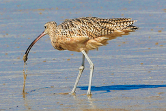 Long Billed Curlew, Curlews, Long Billed Curlews, California, Images of Curlews, Birding, Curlew Photos