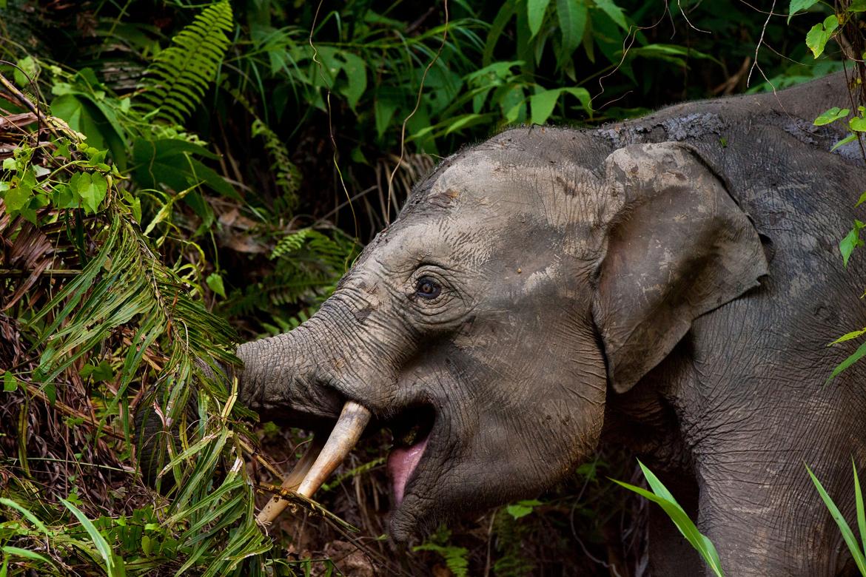 Pygmy elephant, Borneo, Borneo elephant, Borneo wildlife, Borneo photos, elephant photos, elephant images, pygmy elephant images