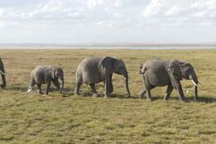 Elephants, Elephant, Amboseli, Kenya, Elephant photos, Images of Elephants
