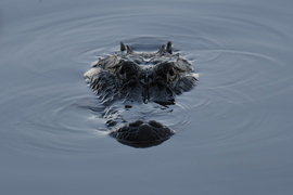 Alligator, Alligators, Florida, Images of Alligators, Alligator Photos