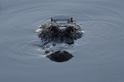 Alligator, Alligators, Florida, Images of Alligators, Alligator Photos