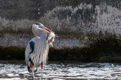 Great Blue Heron, Heron, Herons, Great Blue Herons, Oregon, Birding,Photos of Herons, Heron Images