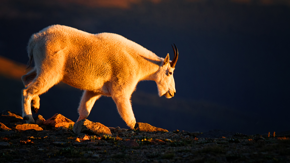 mountain goat, mountain goat photos, mountain goats in Colorado, wildlife in Colorado, mount evans wilderness area