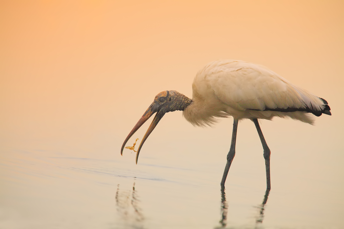 wood stork, wood stork photos, wood storks in Florida, storks in Florida, storks eating, lake jessup, birds in lake jessup, birding in Florida