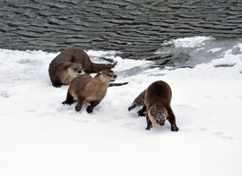 otter, otter photos, Yellowstone wildlife, otters in Yellowstone, winter Yellowstone, Yellowstone River