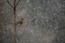 robin, american robin, robin photos, american robin photos, birding in the US, birding in Illinois, robins in the snow