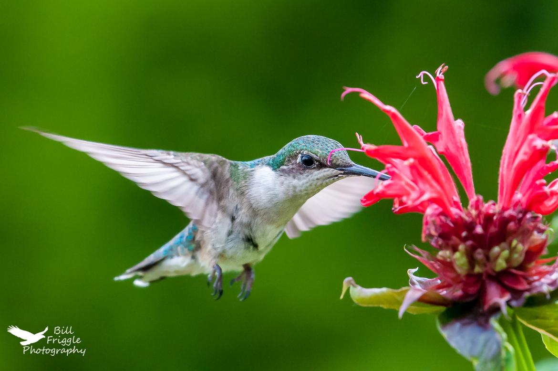 Ruby-throated Hummingbird, Ruby-throated Hummingbird Refueling photos, hummingbirds in Pennsylvania, birding in Pennsylvania