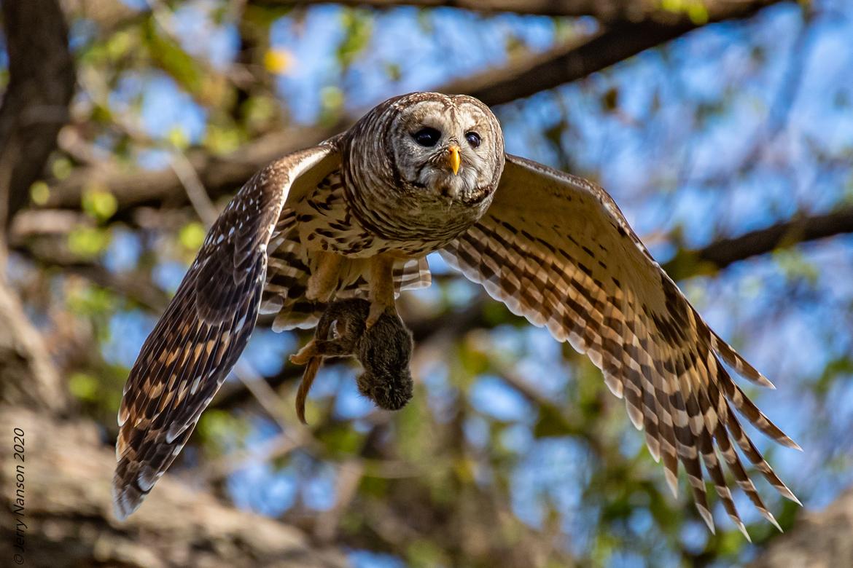 barred owl, barred owl photo, owl, owl photo, Texas birding, birding in Texas, owls hunting