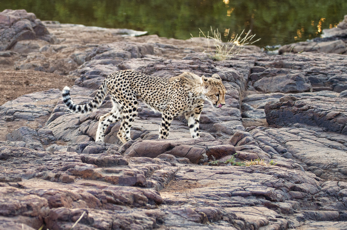 cheetah, cheetah photos, cheetahs in Botswana, Botswana wildlife, big cats in Botswana, Mashatu, Mashatu wildlife