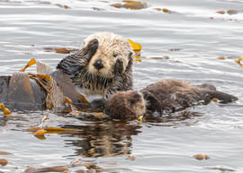 Grid sea otter and pup 5d 3  1 of 1