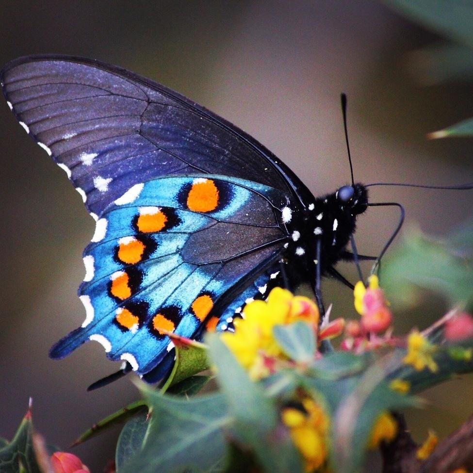 butterfly, butterflies, pipevine swallowtail, swallowtail, texas, texas wildlife, butterflies in texas, blue butterflies