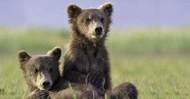 Grizzly, Alaska, brown bear, grizzly cubs, brown bear cubs, bear cub images, grizzly images, grizzly photos, Alaska wildlife, Alaska bears,