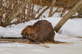 beaver, beaver photos, beavers in Canada, beavers in Ontario