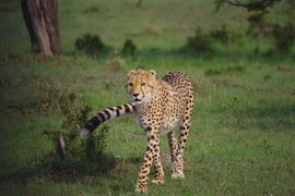cheetah, cheetah photos, cheetahs in Kenya, Maasai Mara, Maasai Mara wildlife, Mara North Conservancy