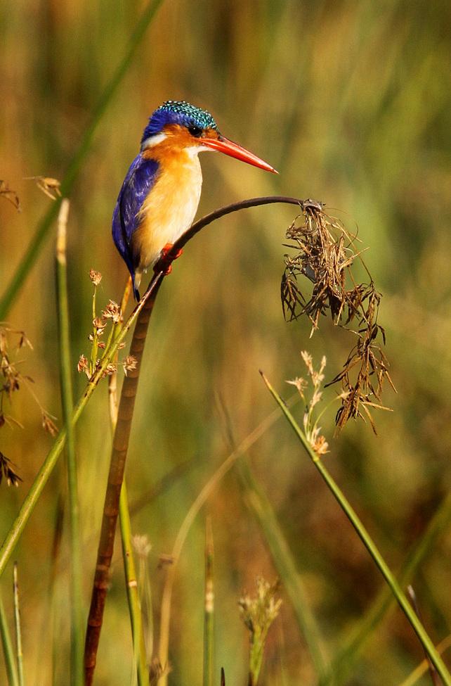 Malachite, Africa birds, Africa bird images, Africa bird photos, malachite photos, malachite pictures, malachite images