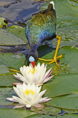 Purple Gallinule, Purple Gallinule photos, birding in the US, Loxahatchee Wildlife Refuge, bird photography, Florida birds, birding in Florida