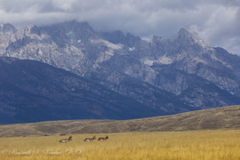 pronghorn, pronghorn photos, pronghorns in Yellowstone, pronghorns in the Grand Tetons, Grand Tetons, Grand Teton National Park