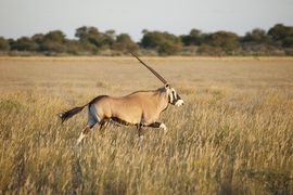 Gemsbok, Oryx, Botswana wildlife, Africa wildlife, spear antelope,  gemsbok photos