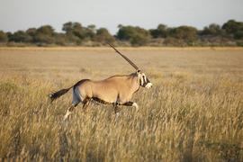 Grid courtw botswanakdb oryx mg 3149