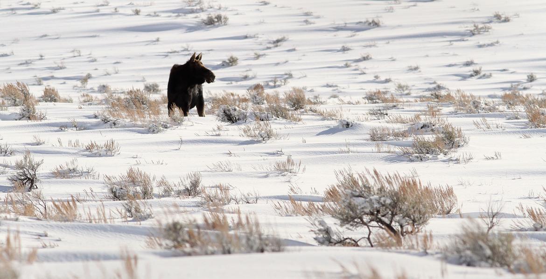 moose, yellowstone national park, north american moose, yellowstone wildlife, moose photos, moose pictures