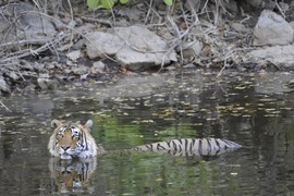 tiger, tigers in india, india wildlife, pictures of tigers, tiger photos, tiger images